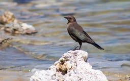 Mono uccelli del lago fotografia stock