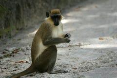 Mono verde imagen de archivo libre de regalías