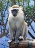 Mono verde Fotos de archivo