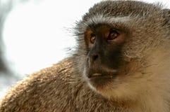 Mono verde Imágenes de archivo libres de regalías