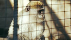Mono verde detrás del sabaeus del chlorocebus de las barras almacen de video