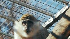 Mono verde detrás del sabaeus del chlorocebus de las barras metrajes