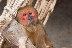 Mono viejo de la cara roja en el parque zoológico Foto de archivo libre de regalías
