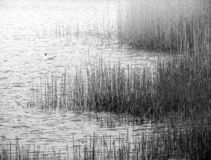 Mono water and reeds stock photography