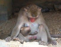 Mono y bebé de amamantamiento Fotos de archivo
