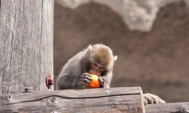 Mono y fruta Foto de archivo libre de regalías