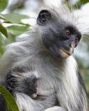 Mono y niño de Colobus Fotografía de archivo