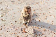 Mono y nueces Imagenes de archivo