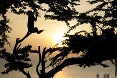 Mono y puesta del sol Foto de archivo libre de regalías