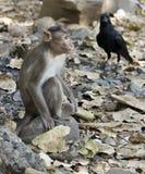 Mono y un cuervo Imagenes de archivo