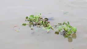Monochoria στον ποταμό απόθεμα βίντεο