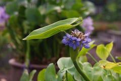 Monochoria; aquatisch onkruid stock foto
