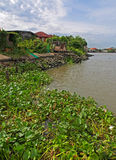 Monochoria Chao Phraya River Royalty-vrije Stock Afbeelding