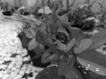 Monochrom róża obraz stock
