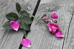 Monochrom róża Obrazy Stock