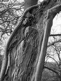 monochrom zamknięty w górę rozszczepionego żywego drzewnego bagażnika z odsłoniętym textured drewnem z adra wzorem i otaczanie pl obraz stock