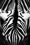 Monochromatic bild av framsidan av en Grevy& x27; s-sebra Royaltyfri Bild