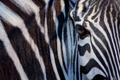 Monochromatic bild av framsidan av en Grevys sebra, stort öga i de svartvita remsorna, djur stående för detalj, Kenya royaltyfria bilder