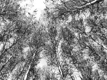 Monochromatic birches Stock Photos