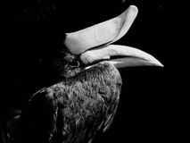Monochromatic photo of a toucan Stock Image