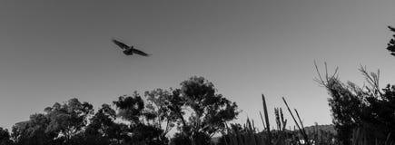 Monochromatic Svavel-krönad kakadua i flykten Arkivbild