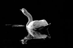 Monochromatic swan. Beautiful adult swan reflected on water with ripples stock photo