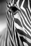 Monochromatic zebra skin texture Royalty Free Stock Image