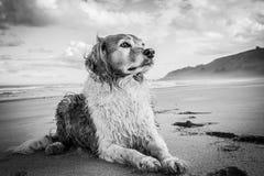 Monochromatisch beeld van rode en witte krullende haired collietype hond bij een strand stock foto