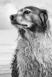 Monochromatisch portret van rode en witte krullende haired collietype hond bij een strand royalty-vrije stock afbeelding