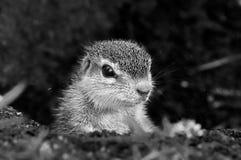 Monochromatycznego przylądka Zmielona wiewiórka Zdjęcie Stock