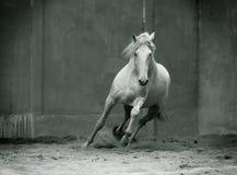 Monochromatycznej fotografii lusitano działający koń z lejącą się grzywą dalej Zdjęcia Stock