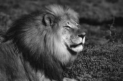 Monochromatyczny Kalahari lew, Panthera Leo Fotografia Stock