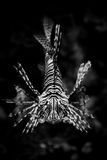 Monochromatyczny Lionfish - oko ono przyglądać się Zdjęcia Stock