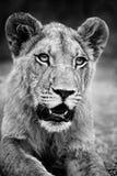 Monochromatyczny lwa zbliżenie Fotografia Stock