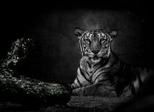 Monochromatyczny wizerunek Bengalia tygrys Fotografia Stock