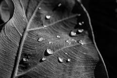 Monochromatyczny wizerunek deszcz krople na liściu obrazy stock