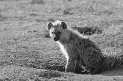 Monochromatyczny wizerunek dorastający Hyeana na Afrykańskich równinach Zdjęcia Royalty Free