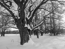 monochromatyczny wizerunek Głęboki wydrążenie w ogromnym śniegu zakrywał antycznego dębowego drzewa zdjęcie stock