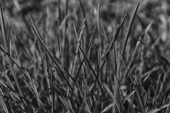 Monochrome свежее утро травы, предпосылка травы Стоковые Фото