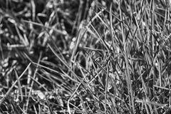 Monochrome свежее утро травы, предпосылка травы Стоковая Фотография