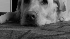 Monochrome унылый labrador на ковре Стоковые Фото