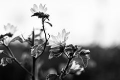 Monochrome Abstract Flowers Background - Turkey. Stylized monochrome abstract wild flowers with soft focus background from the nature of Marmara region of the Royalty Free Stock Image