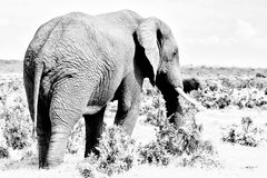 Monochrome African elephant, South Africa Royalty Free Stock Photography