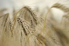 Monochrome barley ears Stock Photo
