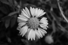Monochrome Blanket flower Stock Photography