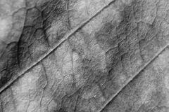 Monochrome blurry macro background of dry leaf, focus on center of the image. Stock Photography