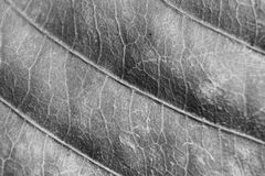Monochrome blurry macro background of dry leaf, focus on center of the image. Royalty Free Stock Image
