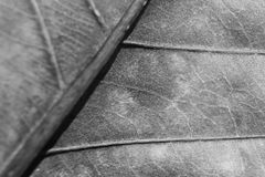 Monochrome blurry macro background of dry leaf, focus on center of the image. Stock Photo