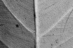 Monochrome blurry macro background of dry leaf, focus on center of the image. Royalty Free Stock Photo