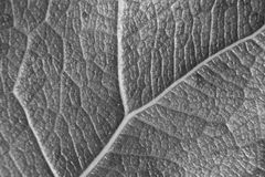 Monochrome blurry macro background of fresh leaf, focus on center of the image. Royalty Free Stock Photography